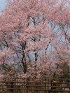 Sakura200903202