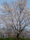 Sakura200903203