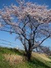 Sakura200903204