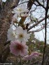 Sakura200910251
