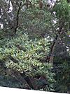 Kagonoki201110016