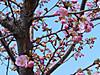 Kawazu_zakura_20120315