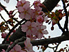 Kawazu_sakura_201303132
